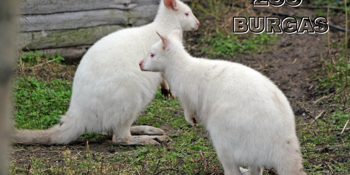 White kangaroo in Bourgas